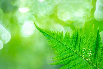 beautiful fern leaf on blurred forest background