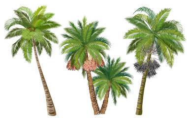 Coconut, date and acai palm trees with fruits. Set of realistic vector illustrations isolated on white background.