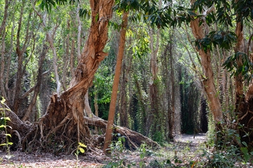 National primeval forest in Xuyen Moc District, Ba Ria Vung Tau Province, Vietnam in the dry season. The roots are exposed beautifully. This place is very suitable for making wedding photos.