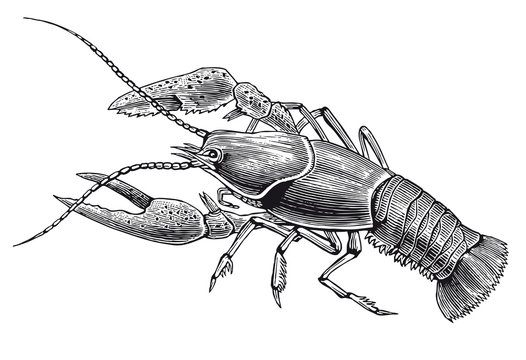 Vector High Detail Lobster Engraving