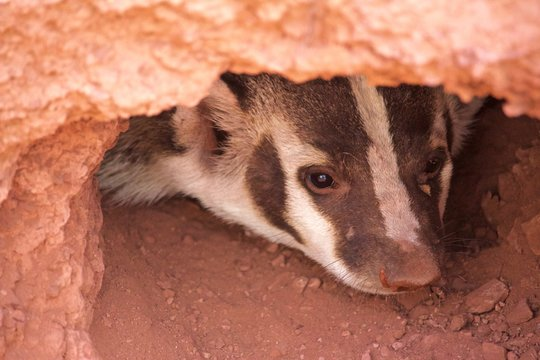 A Badger Peers Out of Burrow of Red Soil