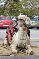 Decoratively  decorated camel with a blanket resting lying waiting for visitors