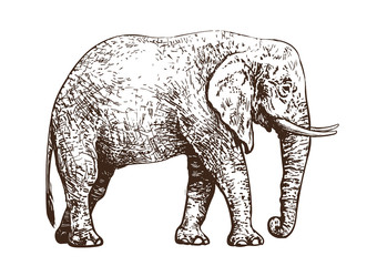 Sketch of walking African elephant. Vintage hand drawn vector.