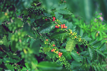 Fresh Arabica coffee berries, Organic coffee farm on Indonesia.