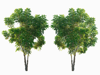 Isolated trees on white background and clipping path, Tropical tree Suitable for planting in the village. Or by the garden