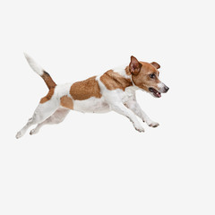 Wall Mural - The jumping Jack Russell Terrier, isolated on white at studio