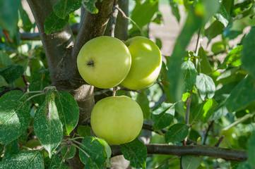 3 unreife grüne Äpfel am Baum