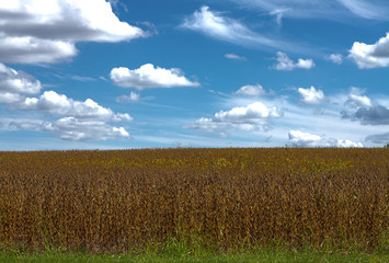 Soybeans before Indiana Harvest