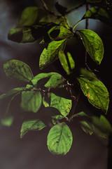 Green leaves of tree