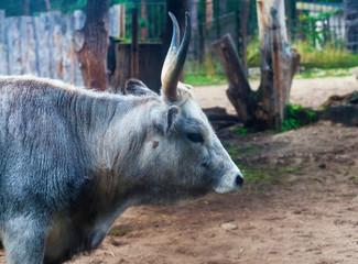 Close shot of a bull's head