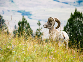 American bighorn sheep on a meadow in National Bison Range, a wildlife reserve in Montana, USA