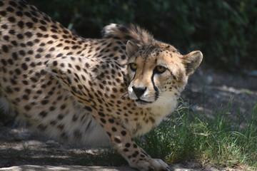 Amazing Crouching Cheetah Cat on a Flat Rock Being Watchful