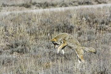 Wall Mural - Coyote Hunting
