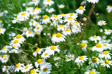 Wall Mural - Wild chamomile flowers on a field on a sunny day.