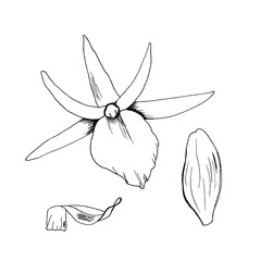 Original  illustration orchid flowers sketch hand drawn with black liner