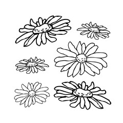 Chamomile, camomile flower floral hand drawn engraving  illustration. White flower on white