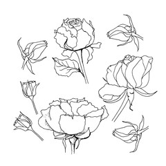 Rose set. Liner  illustration on white background