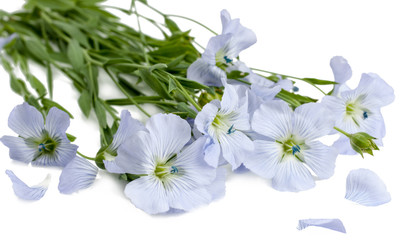 Flowers of flax isolated on white