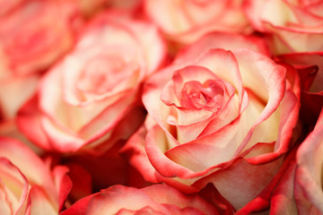 Close-up of red and white pastel rose. Floral background