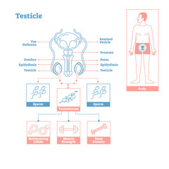 Testicle - part of Endocrine System. Medical science vector illustration diagram