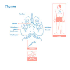 Thymus gland of Endocrine System. Medical science vector illustration diagram
