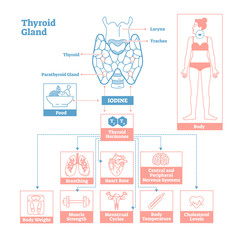 Thyroid Gland of Endocrine System. Medical science vector illustration diagram.