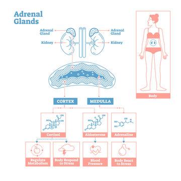 Adrenal Glands of Endocrine System. Medical science vector illustration diagram.