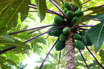 The papaya tree with fruits in thailand.