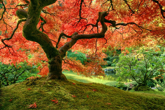Japanese Maple tree in autumn on mossy mound