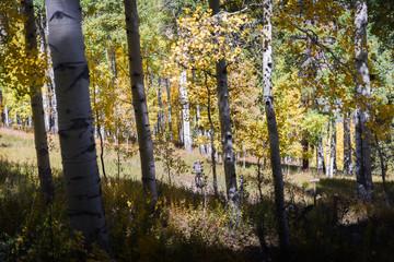 Yellow aspen trees in Vail, Colorado.