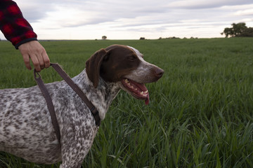 Hunting dog in the countryside