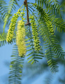Native Honey mesquite(Prosopis glandulosa) tree in bloom