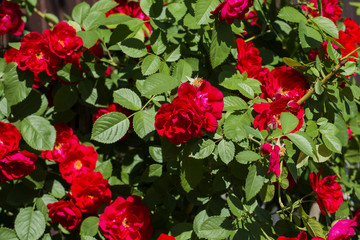Brightly red roses in green foliage. Rose bush