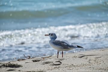 Slender-billed gull stands on the shore of the sea (Chroicocephalus genei)
