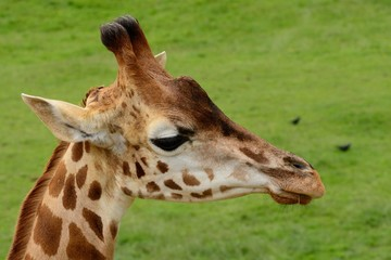 Head shot of a Rothschild's giraffe (giraffa camelopardalis rothschildi)