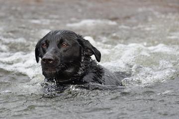 Black Labrador swiming in the water
