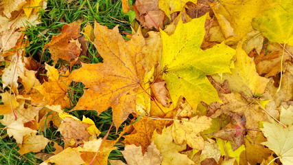 Autumn background from fallen leaves of maple and green grass