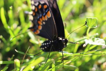 swallowtail butterfly in grass