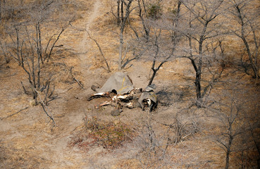 An aerial photograph shows the carcass of an elephant in the Mababe area