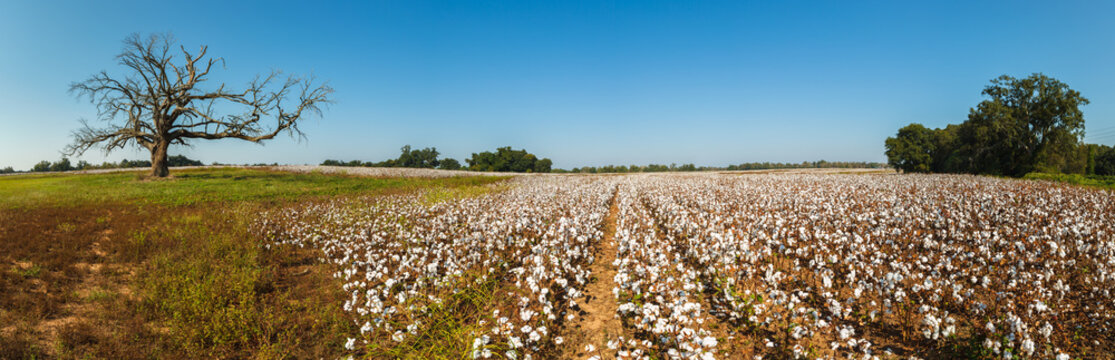 Alabama Cotton Field