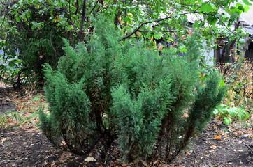The juniper bush.