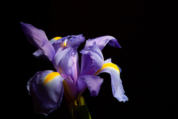 Extreme closeup of purple blue iris flower head on black with copy space