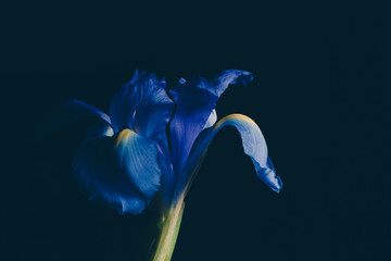 Blue iris flower on dark faded background - studio shot