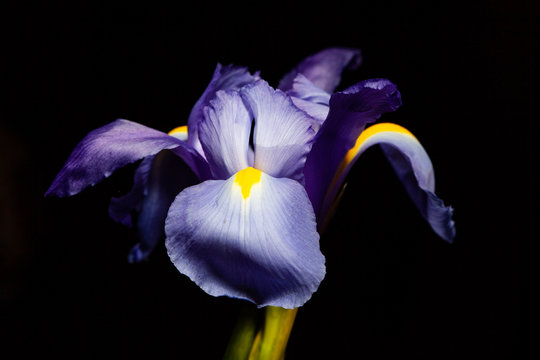 Extreme closeup of purple blue iris flower head on black
