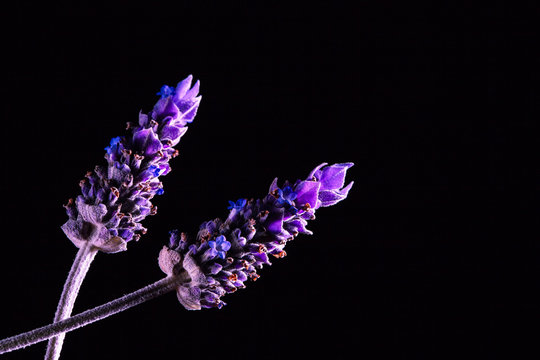 Two lavender flowers on black background - studio shot with copy space