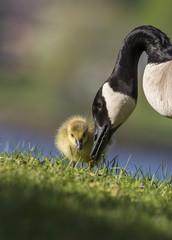 canada goose babies in spring