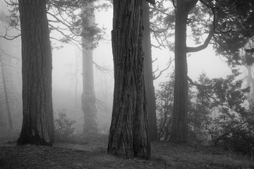 Spooky forest with fog and old trees