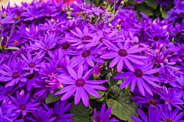 Purple Daisies Blooming in a Garden