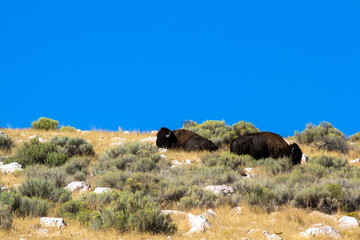 Two Bison or Buffalo on a rocky hill on Antelope Island State Park in the middle of the Great Salt Lake in Utah