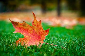 Closeup of a maple leaf in the grass in autumn